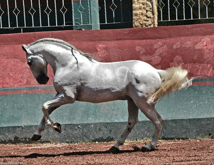 Un caballo Lusitano