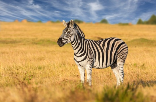 A beautiful sight of a Zebra
