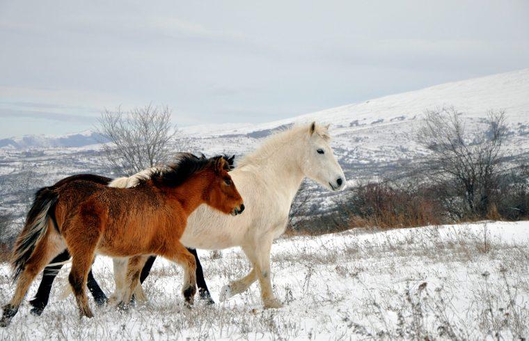 Marron horses