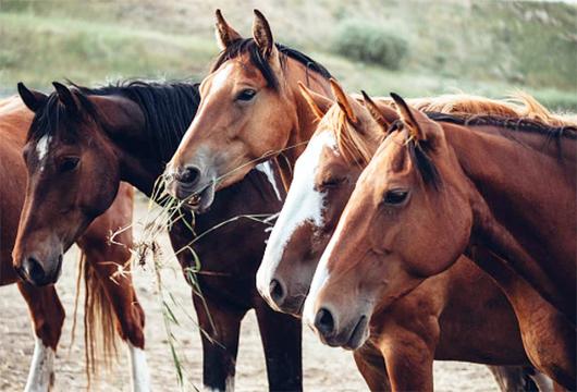 Requerimientos nutricionales del caballo