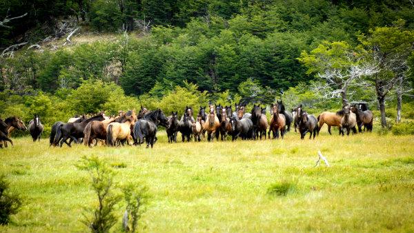Patagonia wild horses