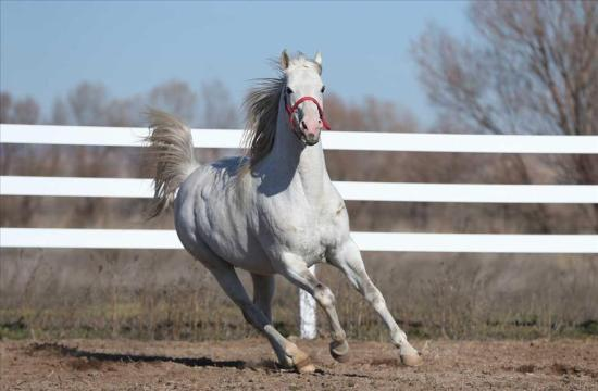 Turkoman horse breed