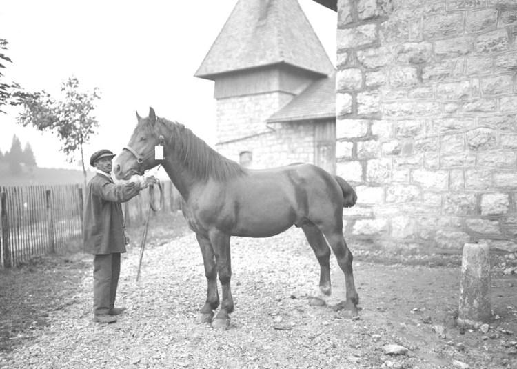 Caballo de raza Freiberger - Suiza 1914