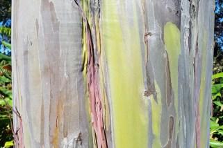 Rainbow Eucalyptus Koloko Drive Kona Hawaii