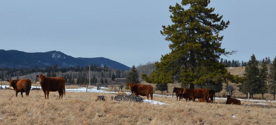 Experiencia Canadian Beef, desde la granja al plato.
