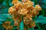 Quinoa en flor