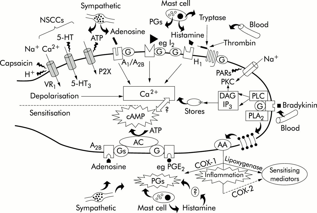 Neuroanatomy Of Visceral Nociception Vagal And Splanchnic