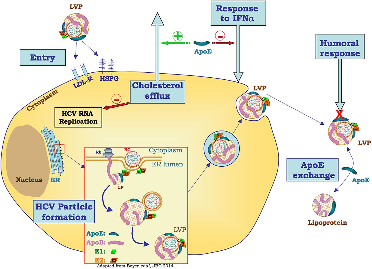 Unravelling The Multiple Roles Of Apolipoprotein E In The