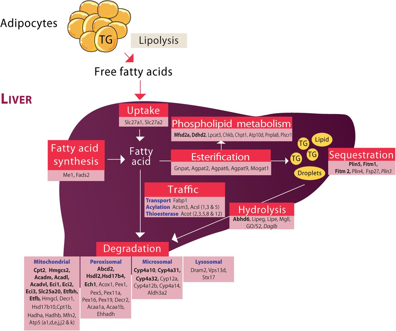 Liver Ppar Is Crucial For Whole Body Fatty Acid