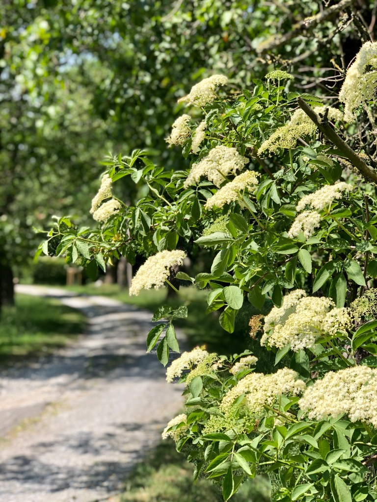 Blühender Holunder entlang unserer Einfahrt.