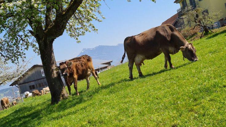 Kühe auf dem Sonnenberg