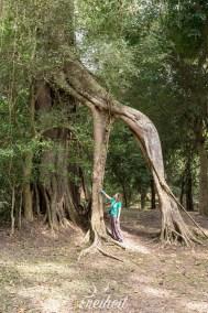 Angkor Park - einfach nur irre Bäume, oder?