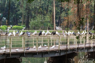 Tauben Treffen