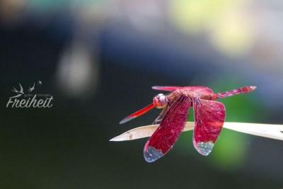 Voll schöne Libelle :)