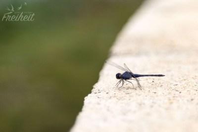 Blaue Libellen..