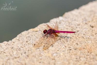 ..pinkfarbene Libellen..