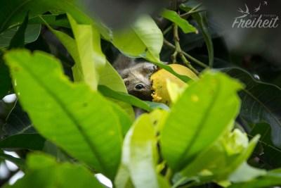Mangos mögen auch die Streifenhörnchen :)