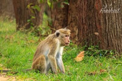 Ceylon Hutaffe - eine endemische Art in Sri Lanka. Der Name ist Programm :D
