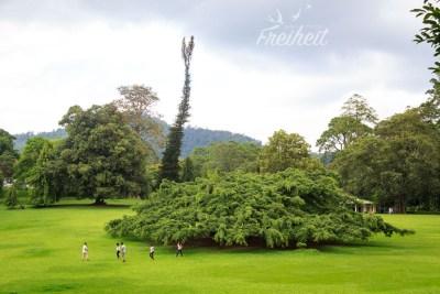 Die weitumspannende Birkenfeige - eine echte Attraktion im Park