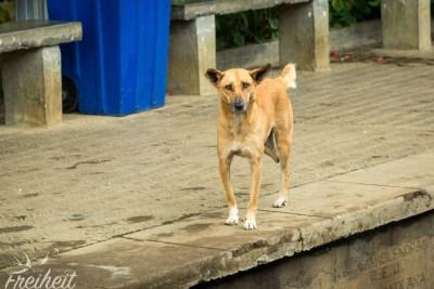 Armes Ding - bricht einem das Herz. Viele Hunde in Sri Lanka haben einen Fuß oder das halbe Bein verloren.