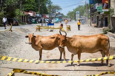 Heilige Tiere - Kühe können auch schon mal mitten auf der Straße stehen