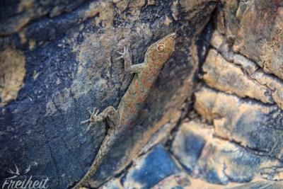 Es könnte ein Rhoptropus bradfieldi sein - auf jeden Fall eine endemische Art in Namibia