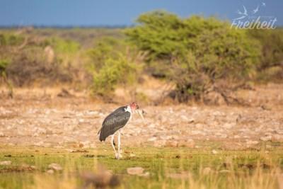 Marabu Storch