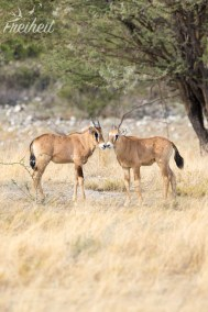 Junge Oryx
