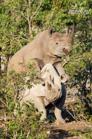 Paarung zweier Nashörner