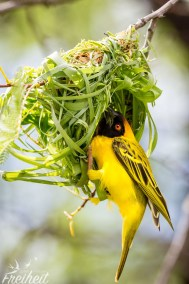 Webervogel beim Nestbau