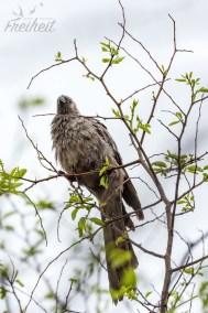 Grauer Lärmvogel
