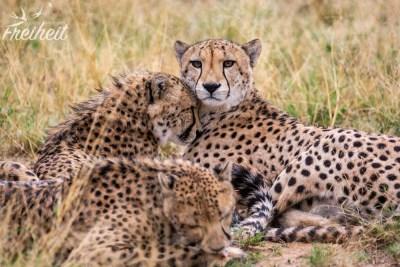 """Geparden erkennt man gut an den schwarzen """"Tränen"""" im Gesicht"""