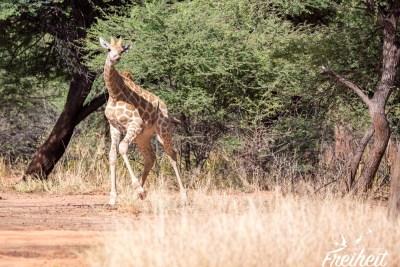 Tanzende Giraffe ;-D