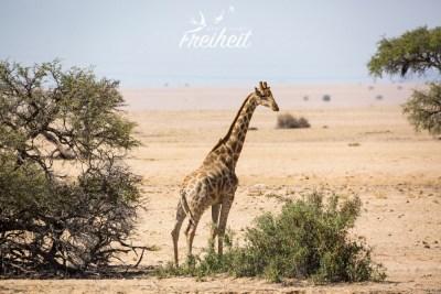 Und auch die Giraffe können wir beim Abendessen beobachten