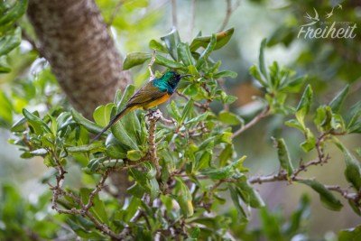 Anthobaphes violacea - Orange Breasted Sunbird