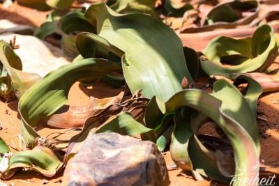 Unscheinbare sehr junge Welwitschie