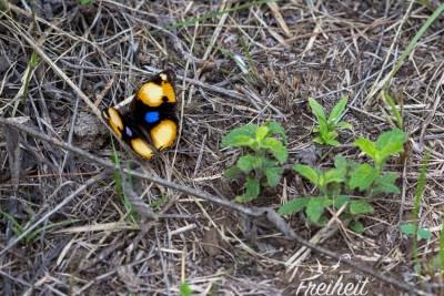 Nicht das schönste Foto eines Schmetterlings aber das einzige von diesem Exemplar
