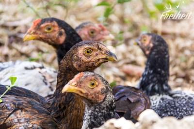Auf dem Geländer rennen jede Menge Hühner rum