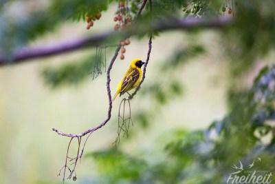 Gelber Webervogel
