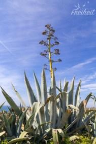 Blühende Agave - sie blüht nur ein einziges Mal, danach stirbt die komplette Pflanze