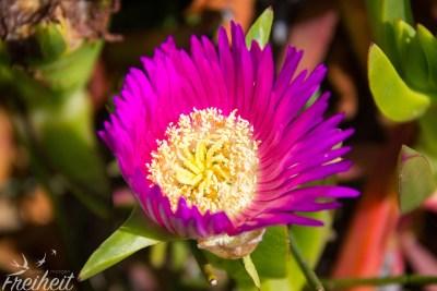 Mittagsblume - die jungen haben eine gelbe Farbe, die alten sind pink