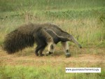 Giant Anteater - Yupukari Village - Central Rupununi Savannahs