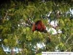 Red Howler Monkey - Fauna - Yupukari Village - Rupununi