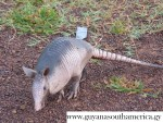 Armadillo - Fauna - Yupukari Village - Guyana, South America
