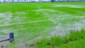 Fallen rice plants due to heavy rainfall