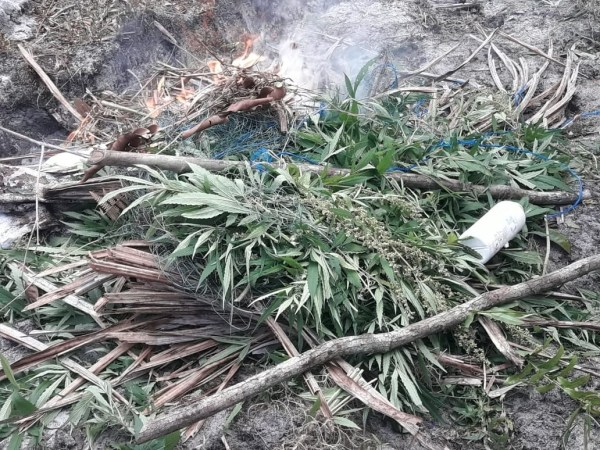 Police destroy 9000 cannabis plants, 300kg dried ganja ...