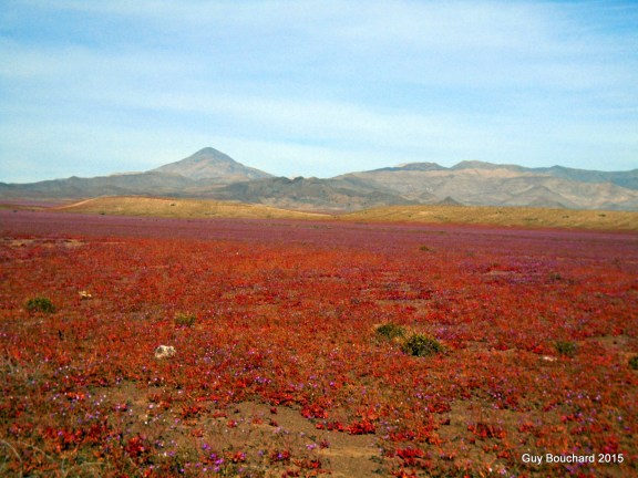 Le magnifique désert en fleur près de Vallenar (une chance incroyable pour moi puisque ça arrive une fois au cinq ou dix ans)