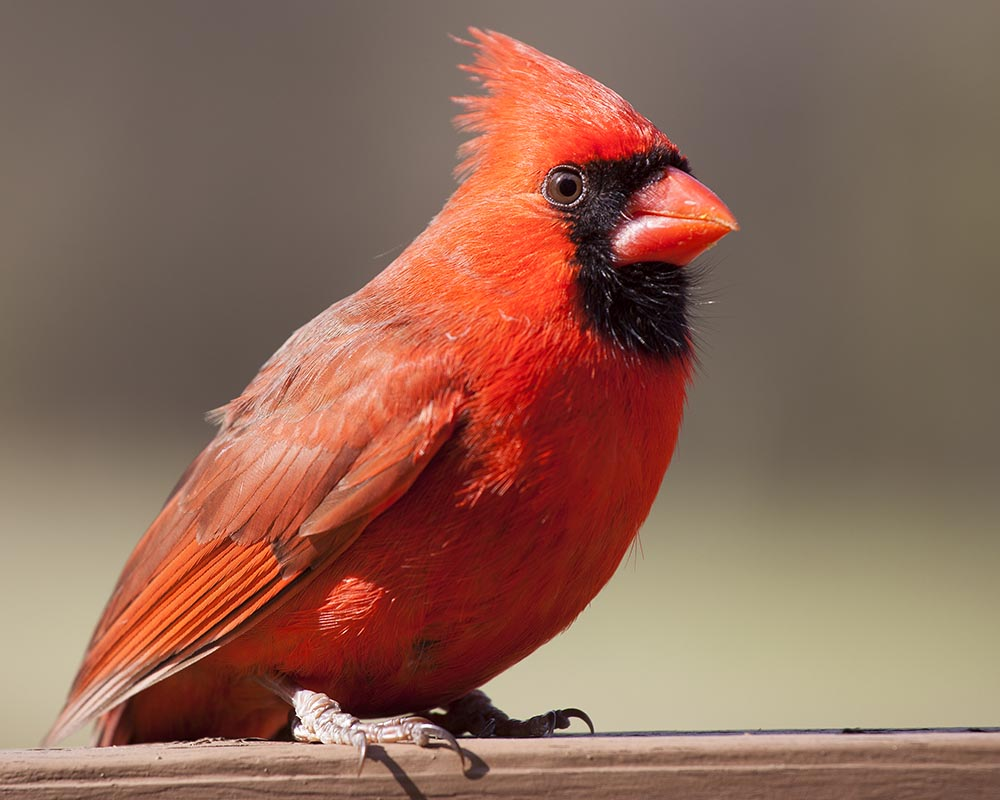 male cardinal, wildlife, wildlife photography, bird photography, Guy J. Sagi, Guy Sagi, Raeford North Carolina, Hoke County North Carolina