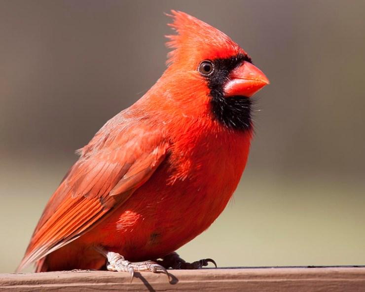 male cardinal, wildlife, wildlife photography, bird photography, Guy J. Sagi, Guy Sagi, Raeford North Carolina, Hoke County North Carolina