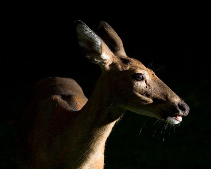 wildlife photography, strobist wildlife photography, whitetail deer doe, whitetail doe strobist portrait, Guy Sagi, Guy J. Sagi, Raeford North Carolina, Hoke County North Carolina